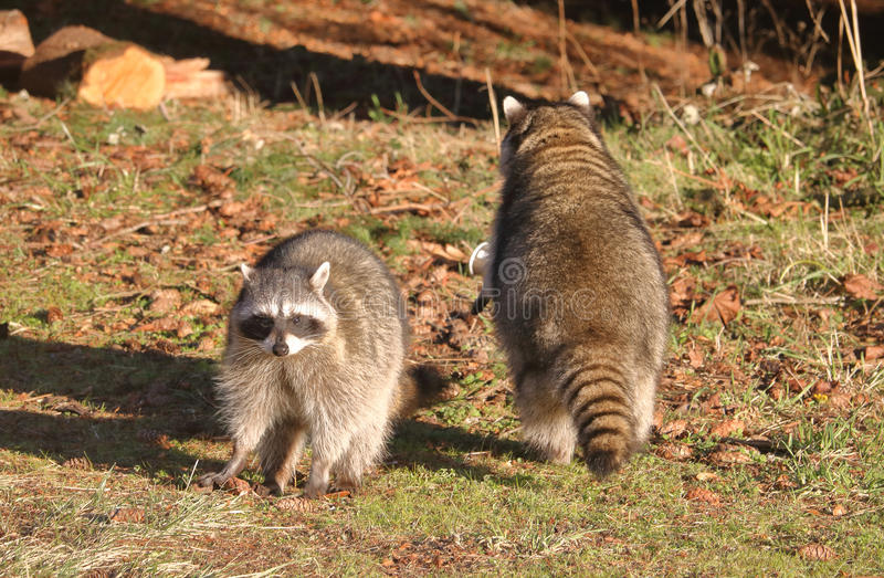 Adult Raccoon Pair or Couple royalty free stock photography