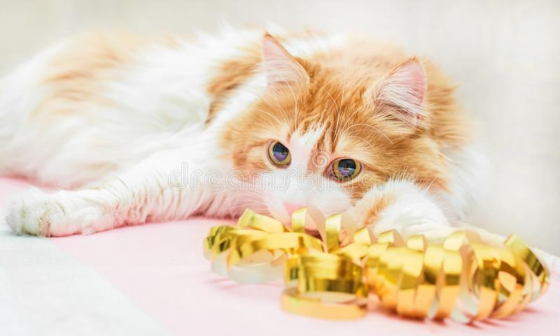 Adult red cat in anticipation of holiday. Beauty adult red cat in anticipation of holiday royalty free stock photos