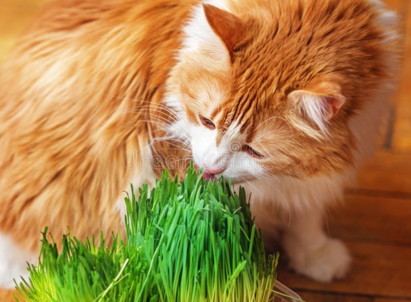 Adult red cat eats sprouted grass. Pretty adult red cat eats sprouted grass oats for good mood royalty free stock photos