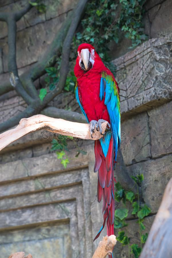 Adult red macaw parrot on a branch.  royalty free stock photo