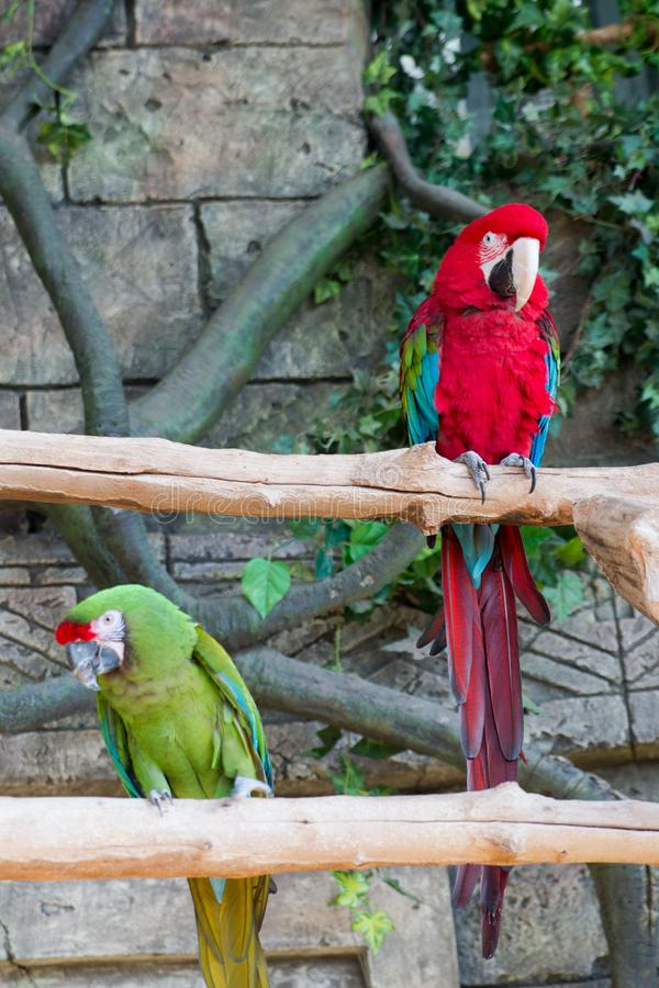 Adult red macaw parrot on a branch.  stock images