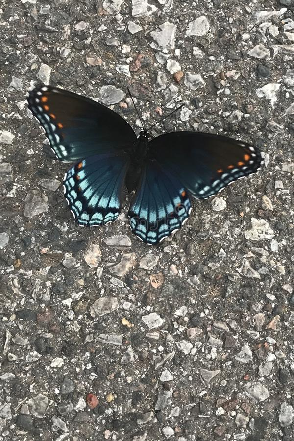 Red Spotted Purple Butterfly. The adult red purple spotted is thought to be a mimic of the distasteful Pipe Vine Swallowtail. They are often seen visiting royalty free stock image