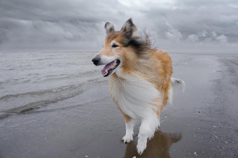 An adult red rough collie is walking along on the beach. royalty free stock images