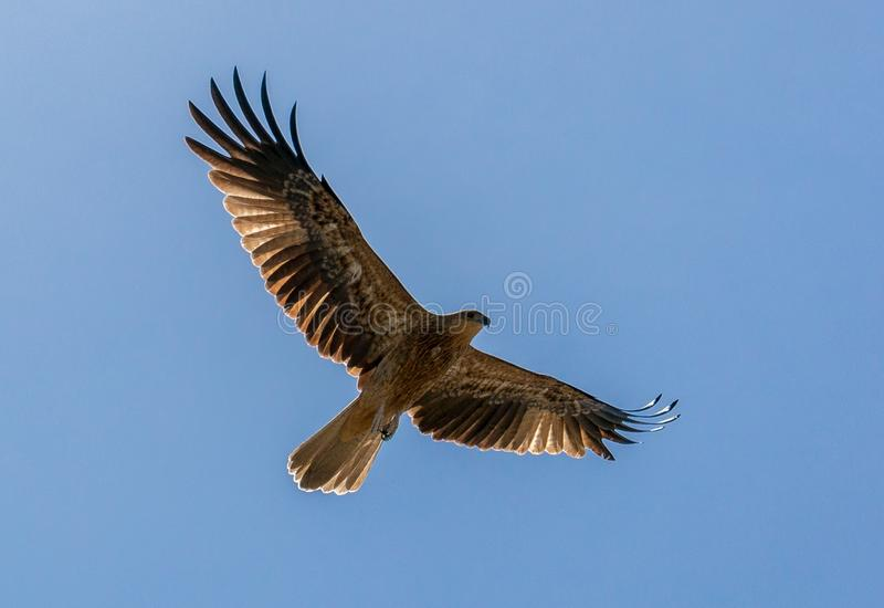 An adult red-tailed hawk flies into the sun on a bright blue sky day royalty free stock photography