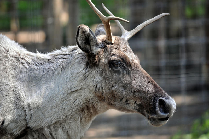 Adult reindeer male portrait. stock photos