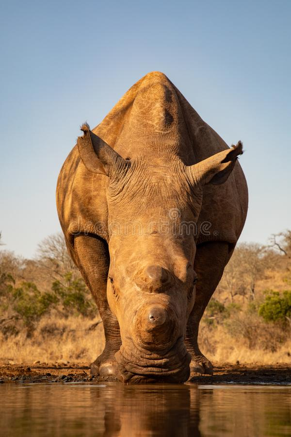 Adult rhino drinking from a waterhole in South Africa stock photos