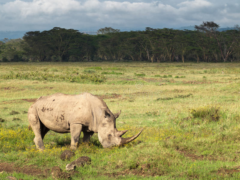 Adult rhino with two big horns grazing in a field with flowers on a background of trees and cloudy sky in the Nakuru National Park royalty free stock photos