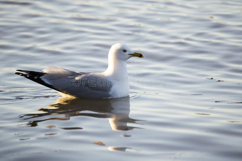 Adult ring-billed gull floating on the calm golden blue water of the St. Lawrence River royalty free stock photo