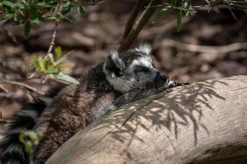 Adult ring tailed lemur in a tree. The ring-tailed lemur Lemur catta is a large strepsirrhine primate and the most recognized lemur due to its long, black and stock photo
