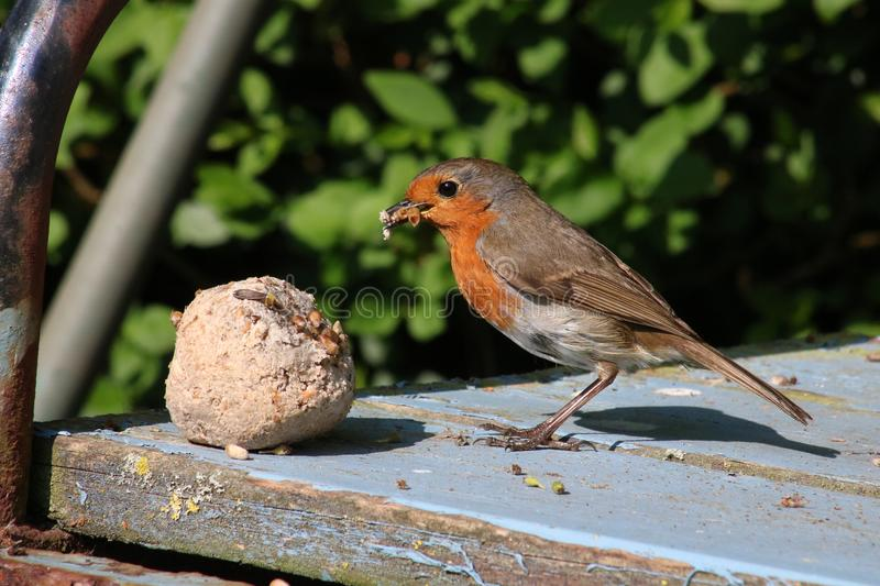 Adult robin, erithacus rubecula, collecting food royalty free stock photography