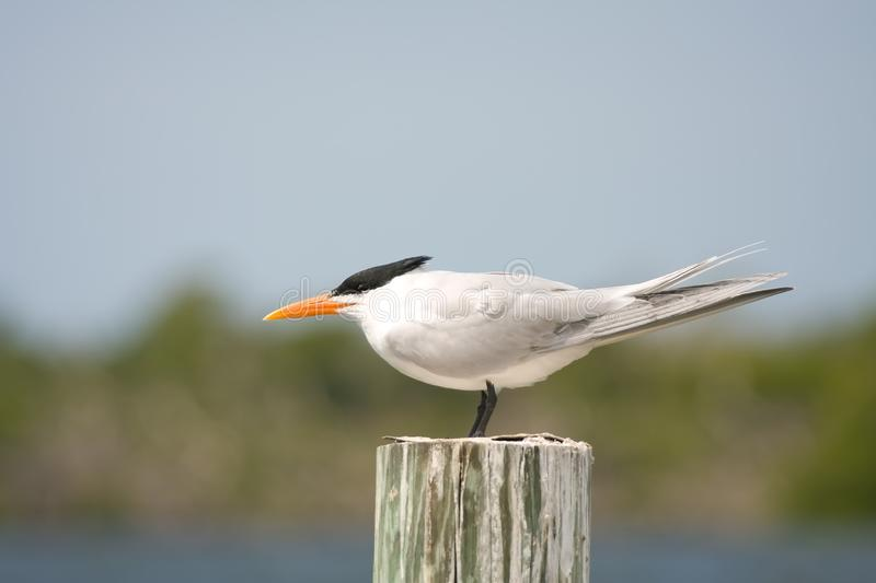 Download An Adult Royal Tern Faces Into The Wind Stock Photo - Image: 8803560