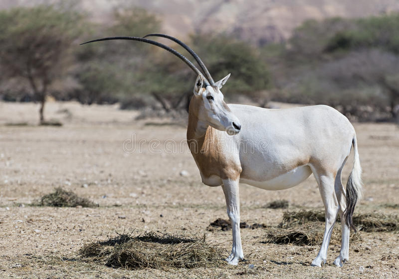 Adult sahara scimitar Oryx (Oryx leucoryx). Scimitar Oryx (Oryx leucoryx) is acclimated Sahara antelope in Israeli nature reserve near Eilat, Israel royalty free stock photography