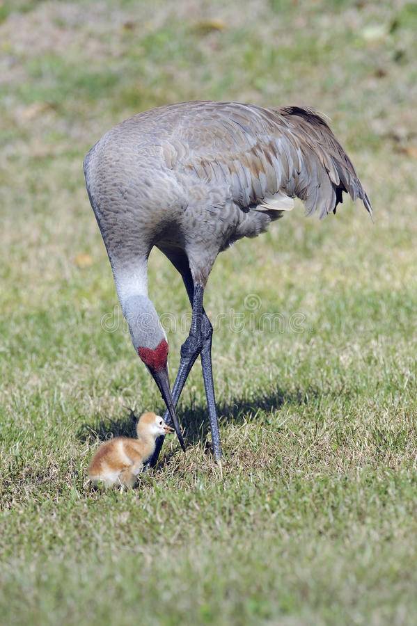 An adult sandhill crane with its young chick royalty free stock image