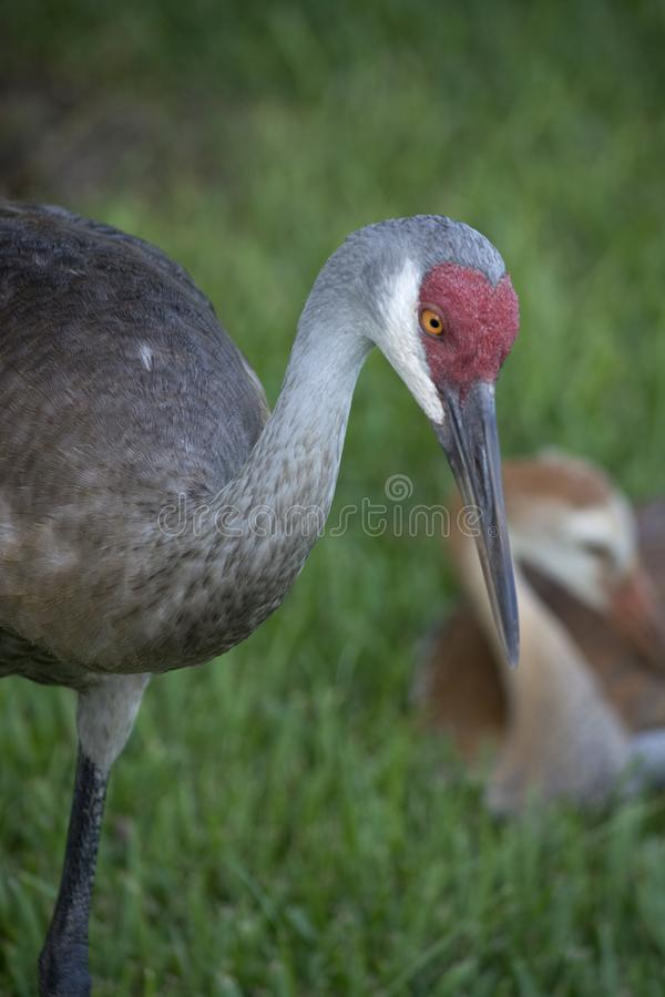 Adult Sandhill Crane Showing Detail in the Head and Beak stock image