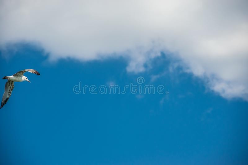 A seagull flies, flapping its wings royalty free stock photo