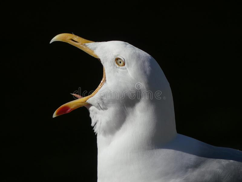 Adult Seagull / Herring gull portrait head and face with beak open. And tongue visible against black background. Larus argentatus royalty free stock images