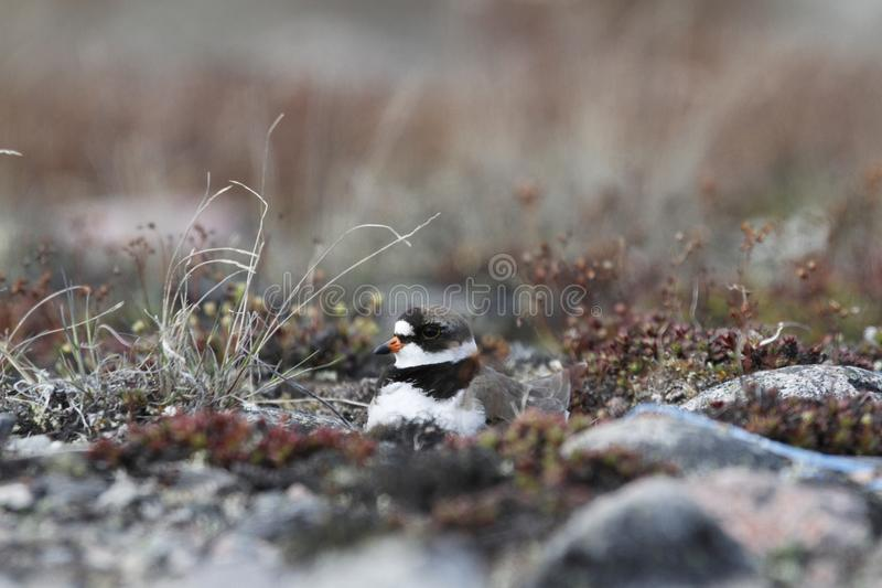 Adult Semipalmated Plover nesting on the ground stock photography
