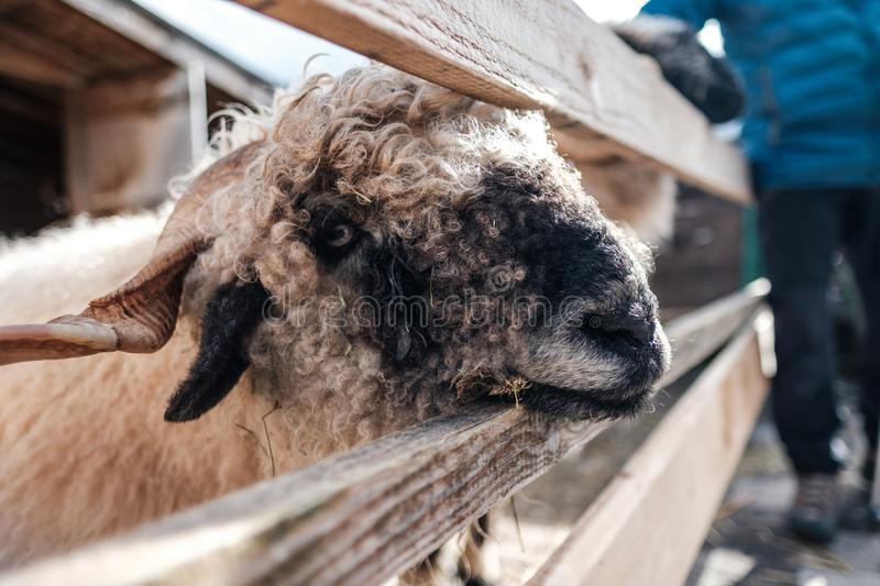Cute Sheep looking through a fence in the sunset on a farm in Austria royalty free stock photo