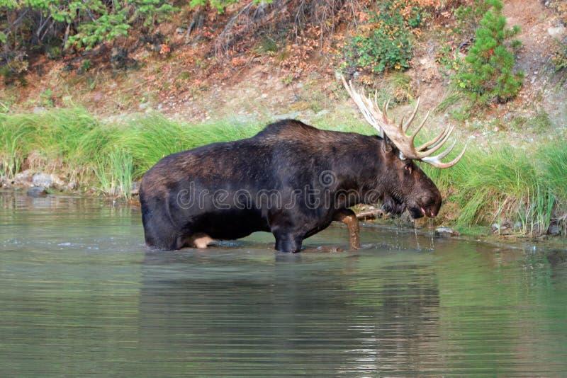 Shiras Bull Moose feeding near shore of Fishercap Lake in the Many Glacier region of Glacier National Park in Montana U stock photo