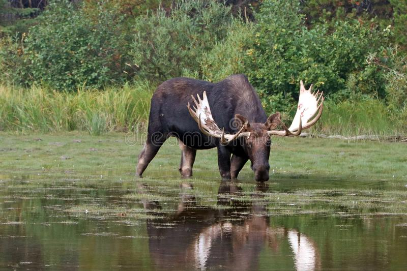 Adult Shiras Bull Moose feeding on water grass in Fishercap Lake in the Many Glacier region Glacier National Park in Montana USA stock photo