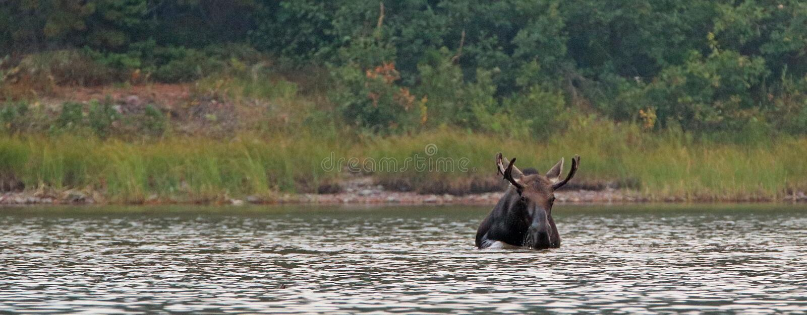 Adult Shiras Bull Moose feeding on water grass in Fishercap Lake in the Many Glacier region Glacier National Park in Montana USA royalty free stock photo
