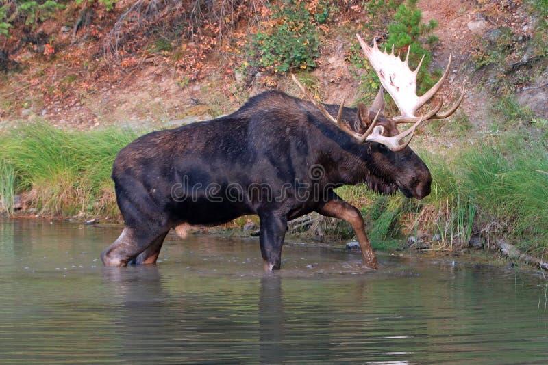 Adult Shiras Bull Moose walking near shore of Fishercap Lake in the Many Glacier region of Glacier National Park in Montana USA stock image