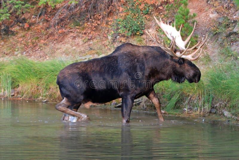 Adult Shiras Bull Moose walking near shore of Fishercap Lake in the Many Glacier region of Glacier National Park in Montana USA stock photography