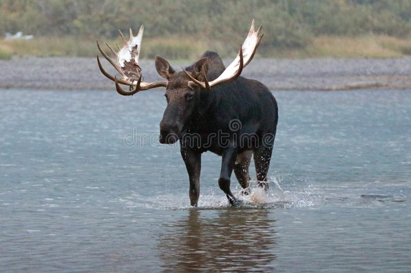 Adult Shiras Bull Moose walking near shore of Fishercap Lake in the Many Glacier region of Glacier National Park in Montana USA. Adult Shiras Bull Moose walking stock photos
