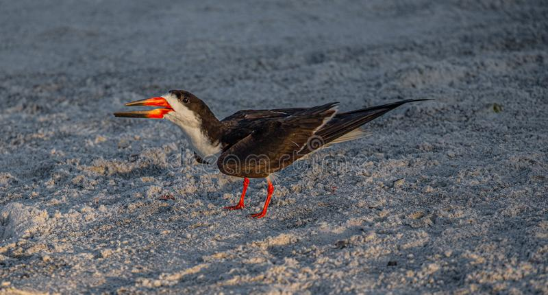 Adult Skimmer Yelling at Skimmer Chicks on Indian Rocks Beach, Florida royalty free stock photo