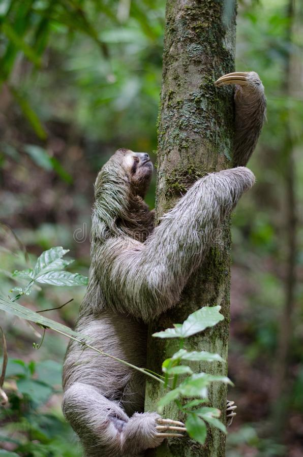 Adult Sloth Climbing Tree Free Public Domain Cc0 Image