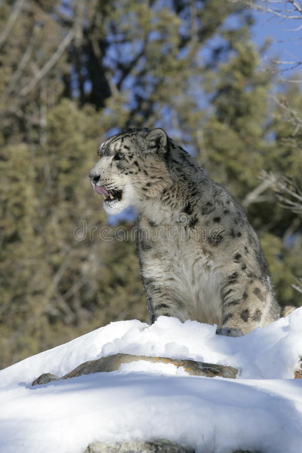 Download Adult Snow Leopard stock photo. Image of rare, elusive - 28603892