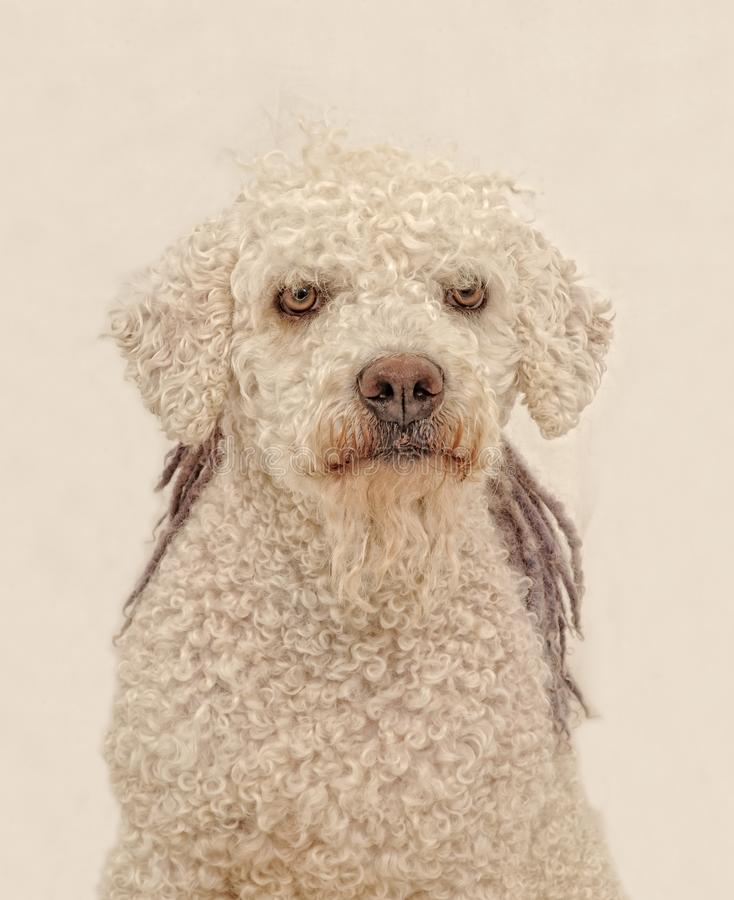 An adult spanish water dog very concentrate. Staring at the photographer, almost like challenging him royalty free stock image
