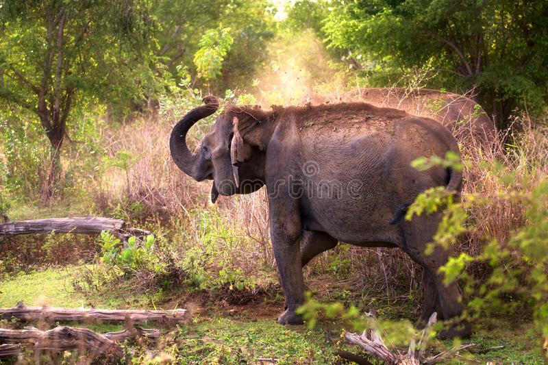 Sri Lankan Elephant Showering Itself in Dust Early in the Morning stock photo