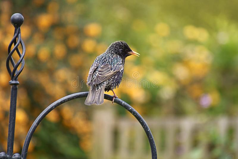 Starling. An adult starling with stunning plumage on show royalty free stock photography