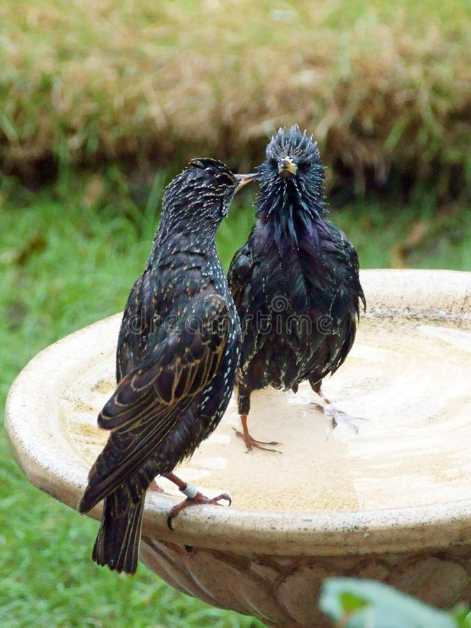 Starlings, posing on a birdbath. Adult starlings with stunning plumage on show, enhanced by being wet. The starling is a medium-sized passerine bird in the stock photos