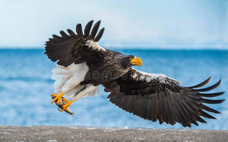 Adult Steller`s sea eagle. Scientific name: Haliaeetus pelagicus. Blue ocean background. Natural Habitat royalty free stock images