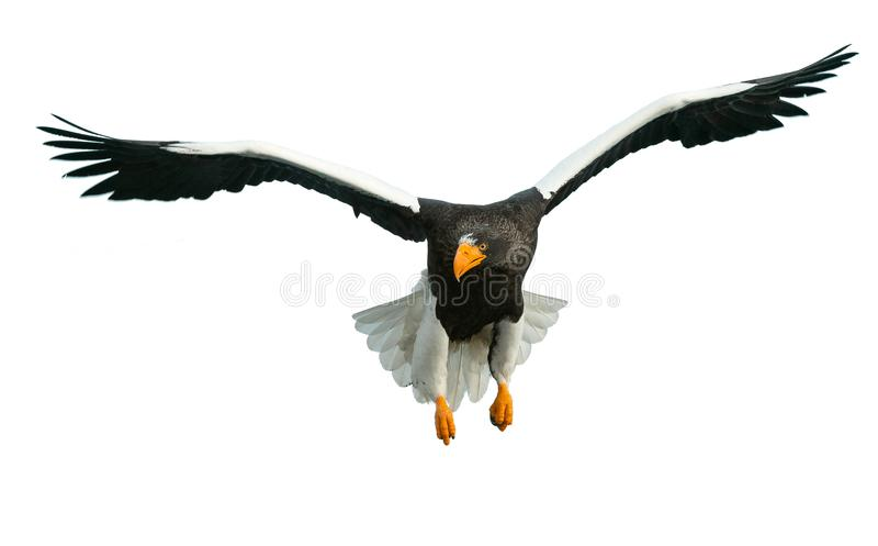 Adult Steller`s sea eagle in flight. Front view. Isolated on white background stock photography