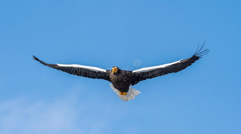 Adult Steller`s sea eagle in flight. Front view. Scientific name: Haliaeetus pelagicus. Blue sky  background royalty free stock photo