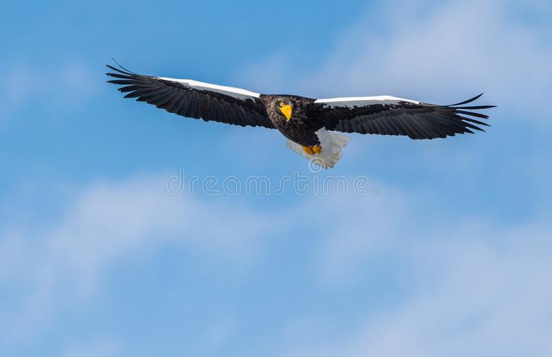 Adult Steller`s sea eagle in flight. Front view. Scientific name: Haliaeetus pelagicus. Blue sky  background royalty free stock photography