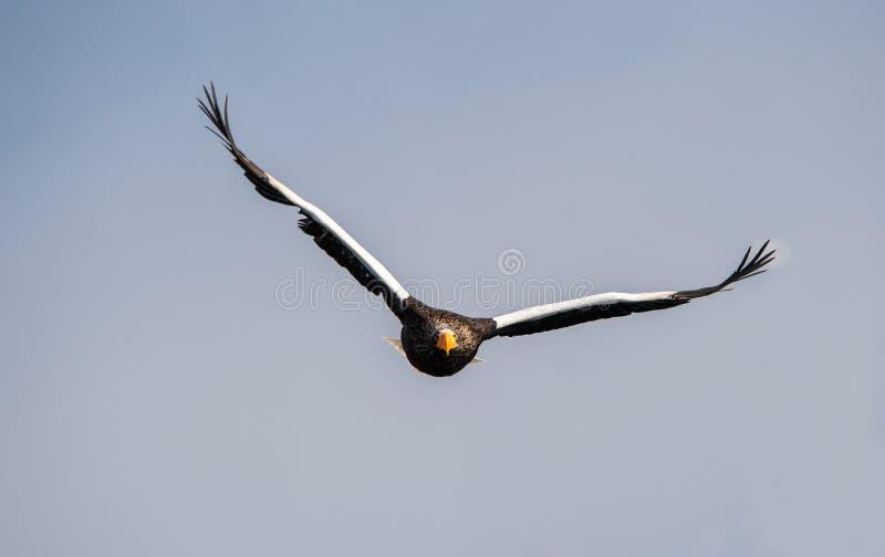 Adult Steller`s sea eagle in flight. Front view. Scientific name: Haliaeetus pelagicus. Blue sky  background stock image