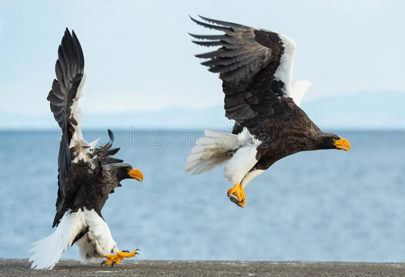 Adult Steller`s sea eagles. Blue sky and ocean background. royalty free stock photography