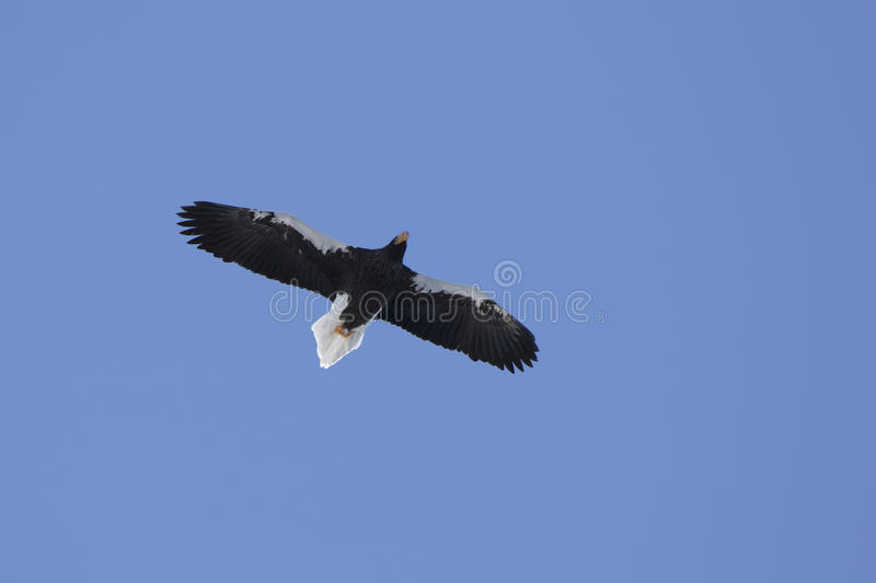 Adult Steller`s sea eagle hovering over the ocean on a sunny win royalty free stock image