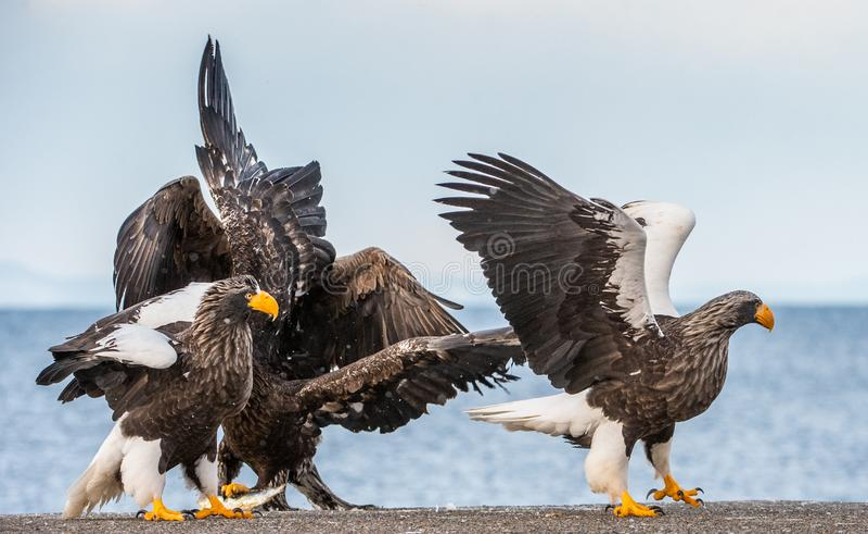 Adult Steller`s sea eagle landed. Scientific name: Haliaeetus pelagicus. Blue sky and ocean background. Winter Season stock photo