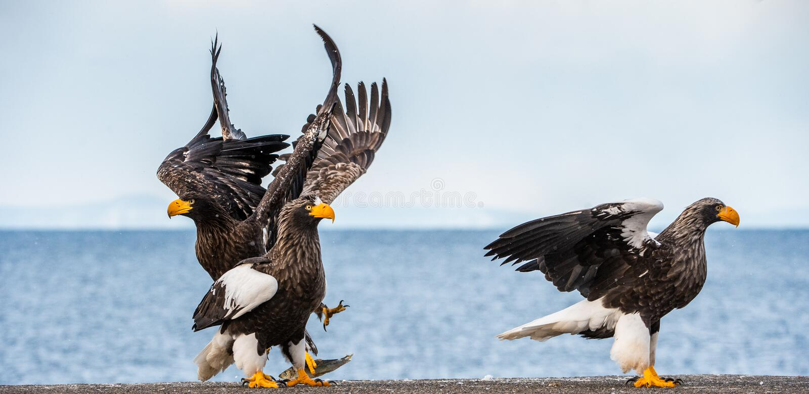 Adult Steller`s sea eagle landed.  Scientific name: Haliaeetus pelagicus. Blue sky and ocean background. royalty free stock images