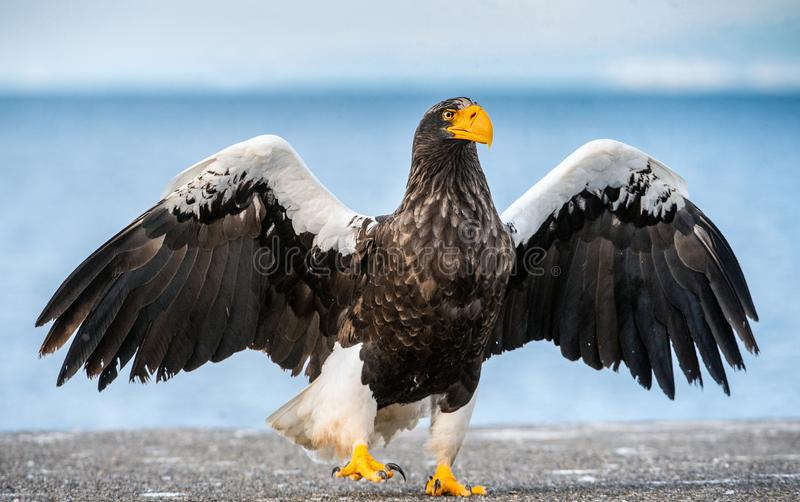 Adult Steller`s sea eagle spreading wings. Front view. Scientific name: Haliaeetus pelagicus. Blue ocean background. Natural stock photos