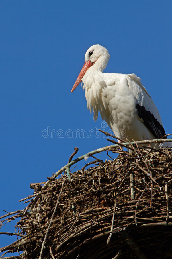 An adult stork at an artificial nesting site stock images