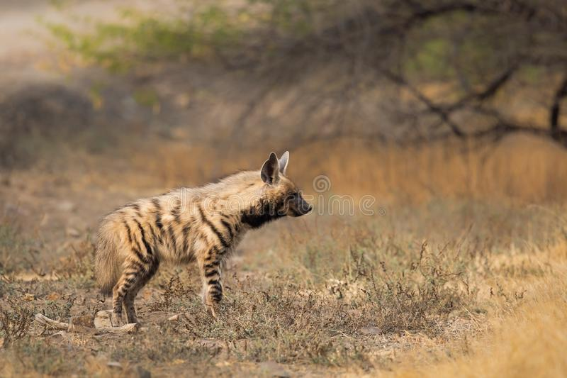 Adult Striped Hyena stock photos
