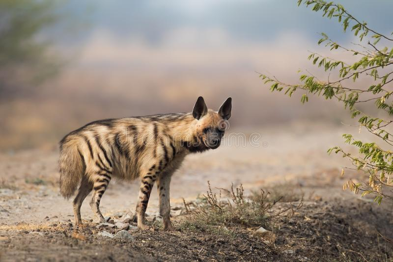 Adult Striped Hyena royalty free stock photo