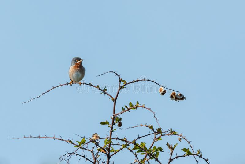 An adult subalpine warbler sitting on a bush stock photography
