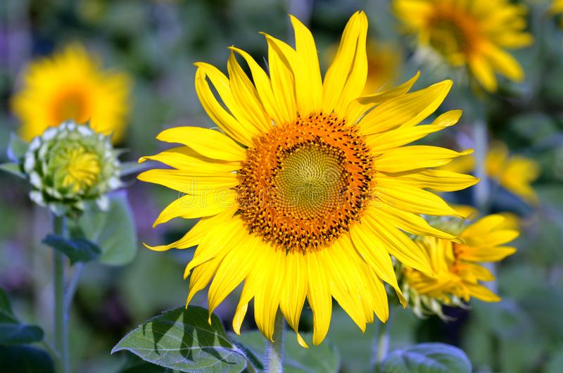 Adult sunflower in full bloom stock photos